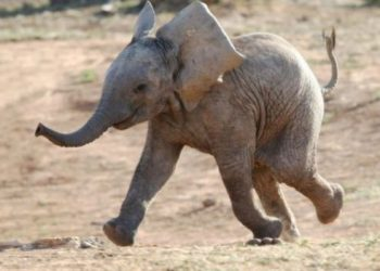 this video of this baby elephant going viral