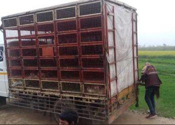 हरियाणा से आई गाड़ी में मरी मिली 250 मुर्गियां
