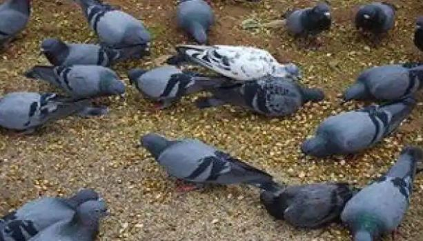 uttar-pradesh/kasganj-bird-flu