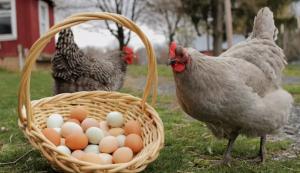 Chicken Egg News